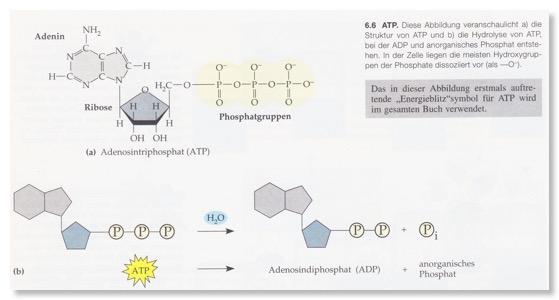 Tolle Chemische Energie Und Atp Arbeitsblatt Antworten Galerie ...